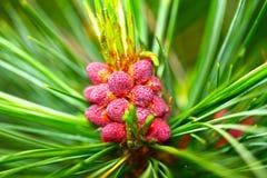 Pinus cembra fotografia stock libera da diritti
