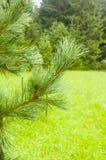 Pinus cembra L del ramoscello Fotografie Stock