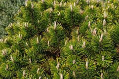 Pinus contorta z pospolit? imienia lodgepole sosn? i brzeg sosn?, i tak?e zna? jako kr?cona sosna i contorta sosna, zdjęcie royalty free