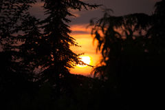 Pinus dans le coucher du soleil Images stock