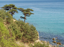Pinus densiflora growing on cliff above sea Stock Photography