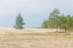 Pinus elliottii las beingcovered diunami przy Lagoa dos Patos Fotografia Royalty Free