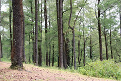 Pinus forest Royalty Free Stock Image