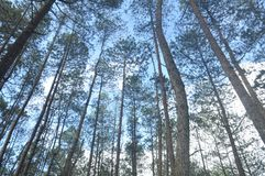 Pinus Forest. This is a beautiful view from Pinus Forest Kintamani, Bali Stock Image