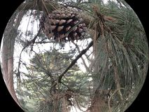 Pinus Glabra, the Spruce Pine, with cone, 2. Unlike most other forms of pine trees which grow in forests of mainly pine trees, the Spruce Pine grows mainly in Stock Photography