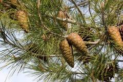 Pinus halepensis, pino di Aleppo fotografia stock libera da diritti