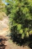 Pinus Halepensis w górze w Alicante obrazy royalty free