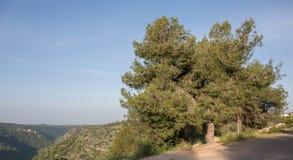 Pinus halepensis, West-Galiläa Lizenzfreie Stockbilder