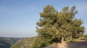 Pinus halepensis, west Galilee Royalty Free Stock Images