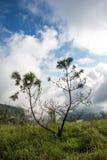 Pinus kesiya Fotografia Stock Libera da Diritti