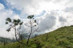 Pinus kesiya Fotografie Stock Libere da Diritti