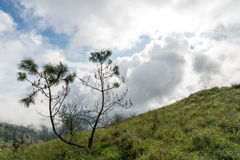 Pinus kesiya royalty-vrije stock foto's