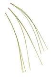 Pinus kesiya leaf Stock Photos