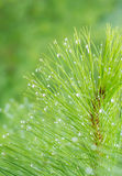 Pinus kesiya in the natural. Royalty Free Stock Photos