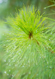 Pinus kesiya in the natural. Stock Photography