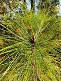 Pinus kesiya. At phukardung in thailand nationnal park Royalty Free Stock Photo