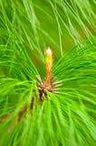 Pinus kesiya young shoot Royalty Free Stock Image