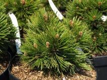 Pinus leucodermis, closeup Stock Images