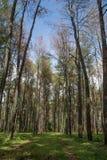 Pinus merkusii Fotografia Stock Libera da Diritti