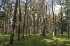 Pinus merkusii Fotografia Stock