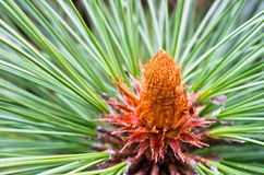 Pinus Montezumae. Pine trees on spring time in forest stock photography