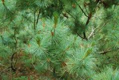 Pinus mugo Zdjęcie Stock