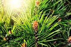 Pinus mugo backlit Stock Photo