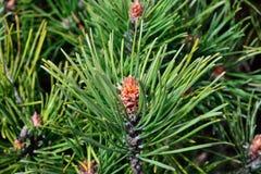 Pinus mugo backlit. Pinus mugo. Needles and buds close up Royalty Free Stock Photography