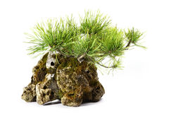 Pinus Mugo with branches and leaves in the rock Royalty Free Stock Images