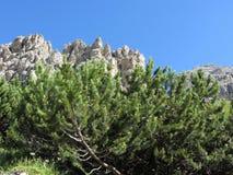 Pinus mugo del pino montano contro le montagne italiane delle dolomia di estate ValGardena, Tirolo del sud, Bolzano, Italia Immagini Stock