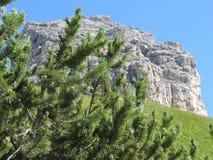 Pinus mugo del pino montano contro le montagne italiane delle dolomia di estate ValGardena, Tirolo del sud, Bolzano, Italia Fotografia Stock