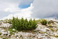 Pinus mugo im Berg Lizenzfreies Stockbild