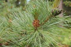 Pinus mugo kwiat Fotografia Royalty Free