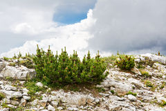 Pinus mugo in mountain. Pinus mugo caracteristic in mountain Royalty Free Stock Image