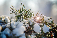 Pinus mugo Mughus covered in snow and ice. With sun lens flare with blurred background Stock Photo