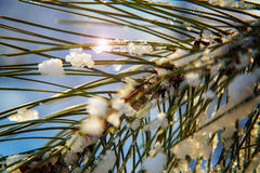 Pinus Mugo Mughus covered with snow and ice. With sun lens flare in winter time at low temperature Royalty Free Stock Photo