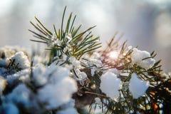 Pinus mugo Mughus in sneeuw en ijs wordt behandeld dat Stock Foto