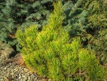 Pinus mugo nano Ophir del pino montano della cultivar dorata nell'inverno soleggiato fotografie stock