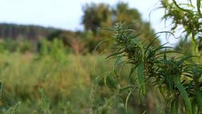 Pinus mugo nano varietà del pino montano della cultivar pumilio nella fine rocciosa del giardino su stock footage