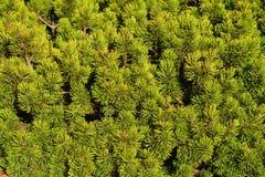 Pinus mugo plant. Pinus mugo tree, known as the creeping pine or dwarf mountainpine Stock Image