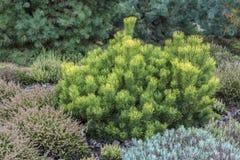 Pinus mugo pnąca sosna, karłowata halna sosna Obrazy Stock