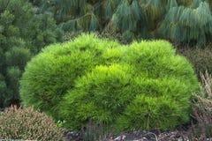 Pinus mugo pnąca sosna, karłowata halna sosna Zdjęcie Stock