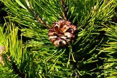 Pinus mugo cones. Pinus mugo tree with cones Royalty Free Stock Photos