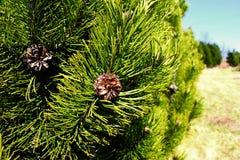 Pinus mugo cones. Pinus mugo tree with cones Stock Photos