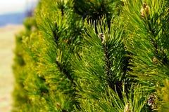 Pinus mugo tree. Spring detail Stock Photos