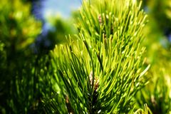 Pinus mugo tree. Spring detail Royalty Free Stock Photos