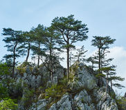 Pinus nigra op bergenpiek Royalty-vrije Stock Foto
