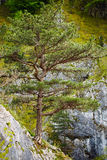 Pinus nigra sul picco di montagne Immagini Stock