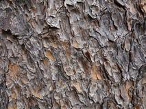 Pinus patula bark Stock Photography