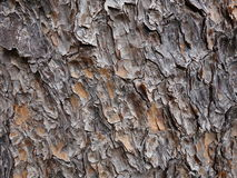 Pinus patula Barke Stockfotografie